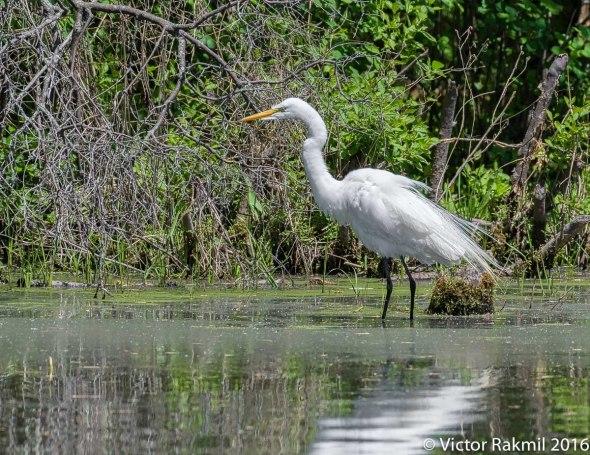 egret-in-bw-7
