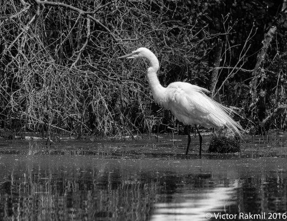 egret-in-bw-8