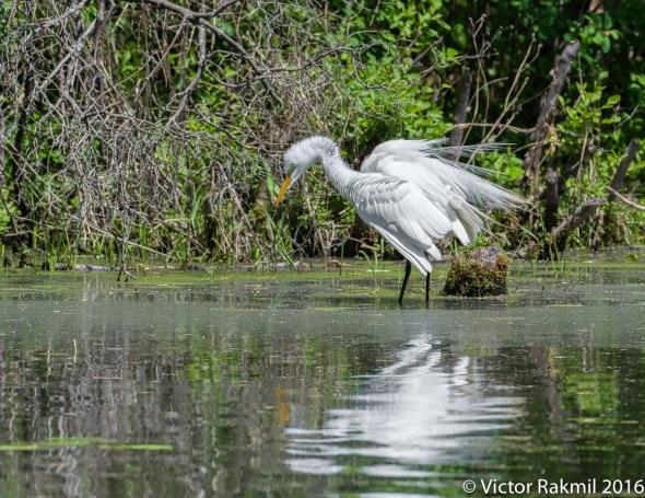 egret-in-bw