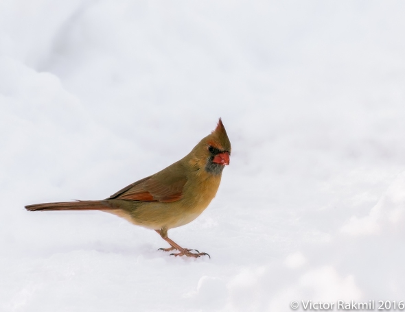 female-cardinal-in-the-snow-2
