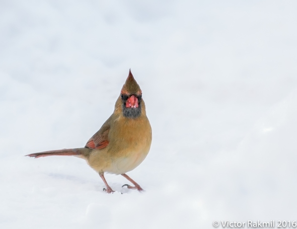 female-cardinal-in-the-snow-3