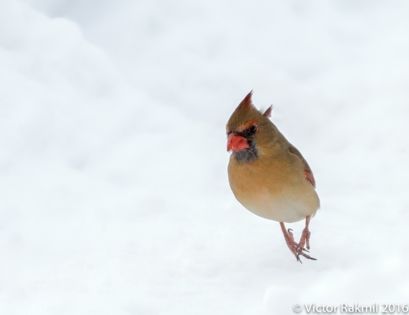 female-cardinal-in-the-snow-4