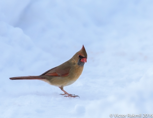 female-cardinal-in-the-snow