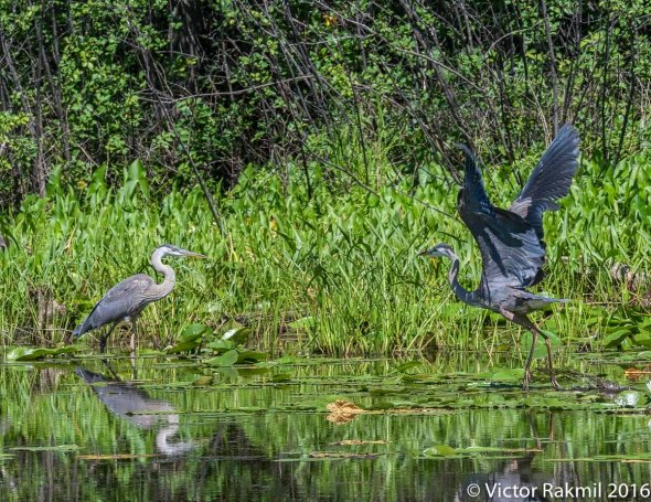 great-blue-herons-2