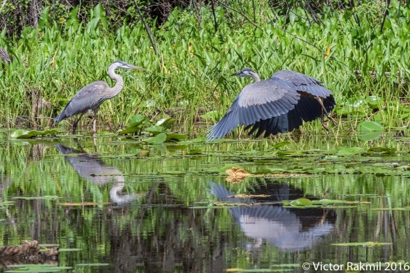 great-blue-herons-3