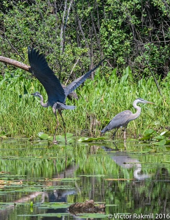 great-blue-herons-4