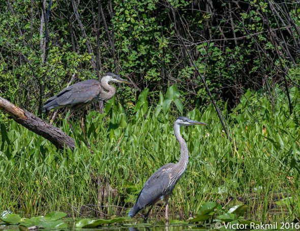 great-blue-herons-5
