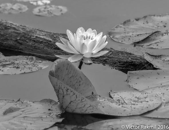 lilies-in-bw-2
