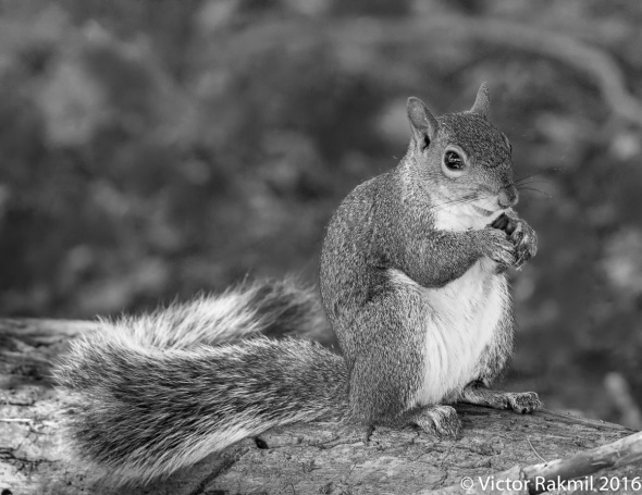 squirrrel