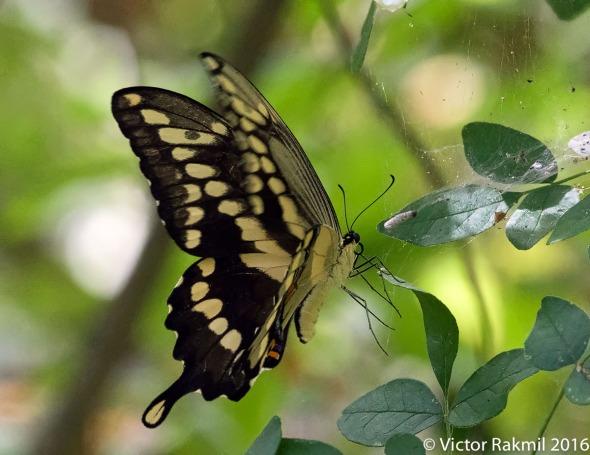swallowtail-3