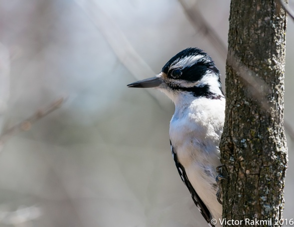 woodpeckers-2
