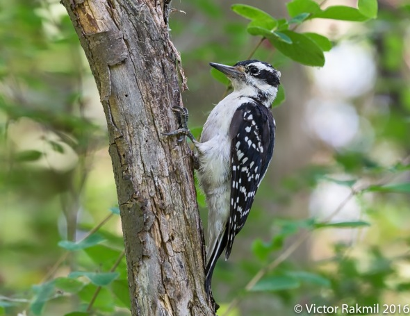 woodpeckers-4