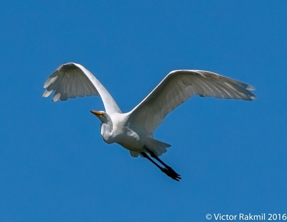egret-in-flight-3