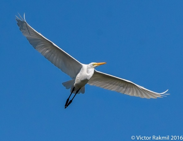 egret-in-flight-7