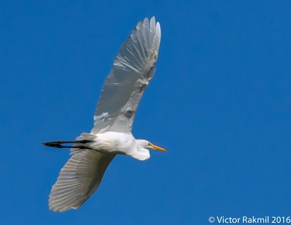 egret-in-flight-9