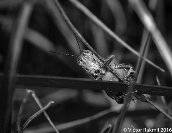 grasshoppers-3