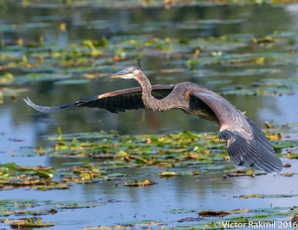 green-heron-in-flight-2