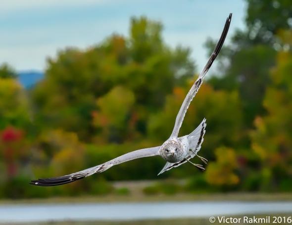 ring-billed-gulls-2