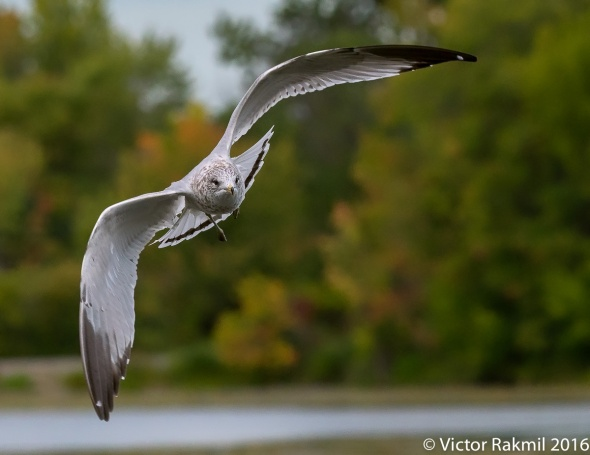 ring-billed-gulls-3