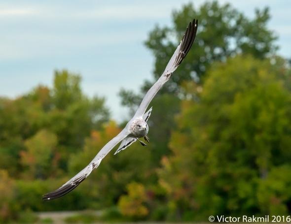 ring-billed-gulls
