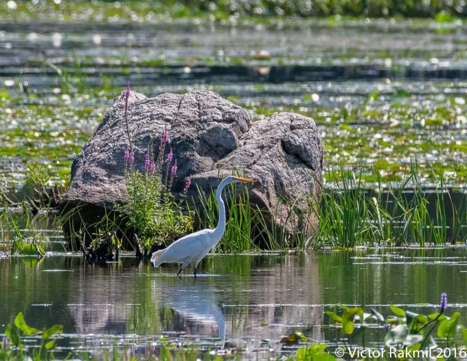 standining-herons