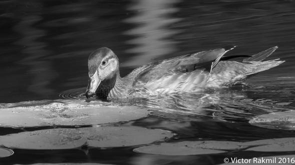wood-duck-2-2