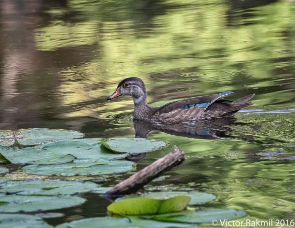 wood-duck-3