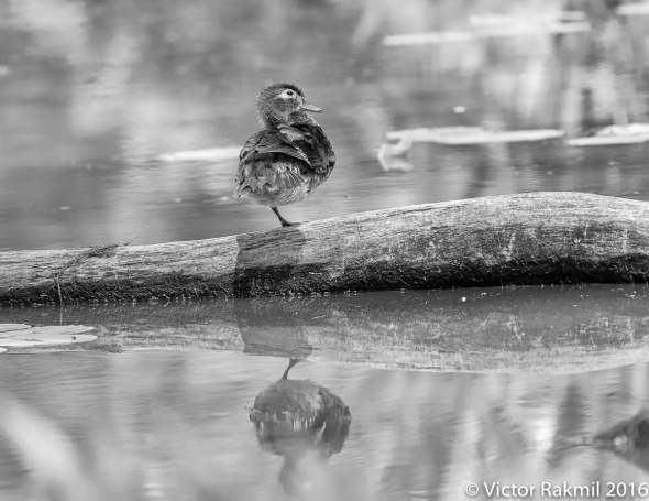 wood-ducks-2