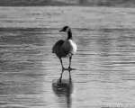 Goose on ICE-2