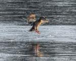 Macro Duck onICE