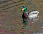 Three Ducks-3