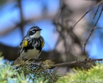 Yellow Rump Warbler-2