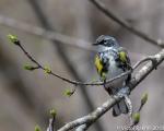 Yellow Rump Warbler-3