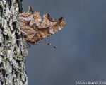 Comma Butterflies-2