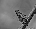 Comma Butterflies