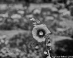 HDR Flower-2