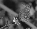 Copper Butterfly-2