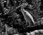 Great Blued Heron-2