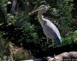 Great Blued Heron