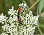 Milkweed Bugs-2