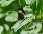 Black Swallowtail-2