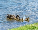 Mallatrd and Chicks-3