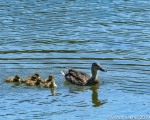 Mallatrd and Chicks