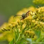 Lotus Borer Beetle-2