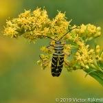 Lotus Borer Beetle-3