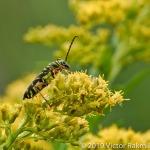 Lotus Borer Beetle