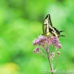Canadian Tiger Swallowtail-2