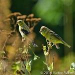 Female Goldfinch-2