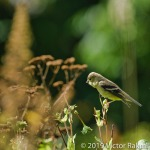 Female Goldfinch-3