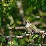 Grimpy Hummingbird-2